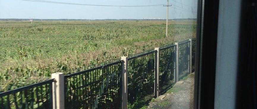 A field of waist-high crops.