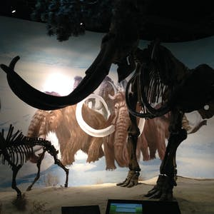 View enlargement of Large skeletons contrast with a backdrop showing painted mammoths.