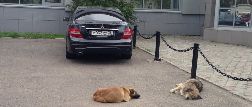 Two dogs lie sprawled behind a Mercedes in Irkutsk.