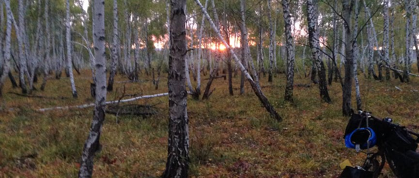 Watching the sun set through a thick forest of thin, pale trees.