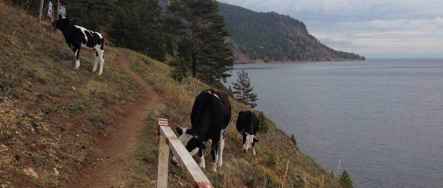 Cows graze on the hillside, next to the trail.