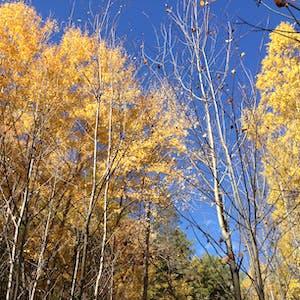 Yellow trees.