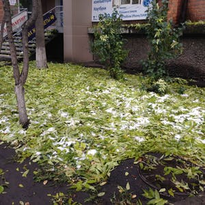 View enlargement of Snow adds to a thick bed of leaves in Irkutsk.