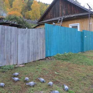 Pigeons next to a half-painted wooden fence.