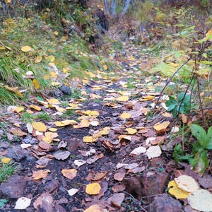 View enlargement of Golden brown leaves lying flat on the dirt path.