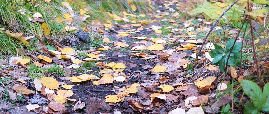Golden brown leaves lying flat on the dirt path.