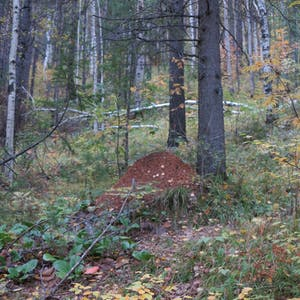 View enlargement of A mound of dirt amongst the trees.