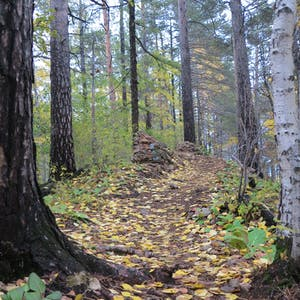 View enlargement of Tree roots penetrate the leafy trail.