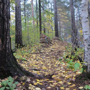 Tree roots penetrate the leafy trail.