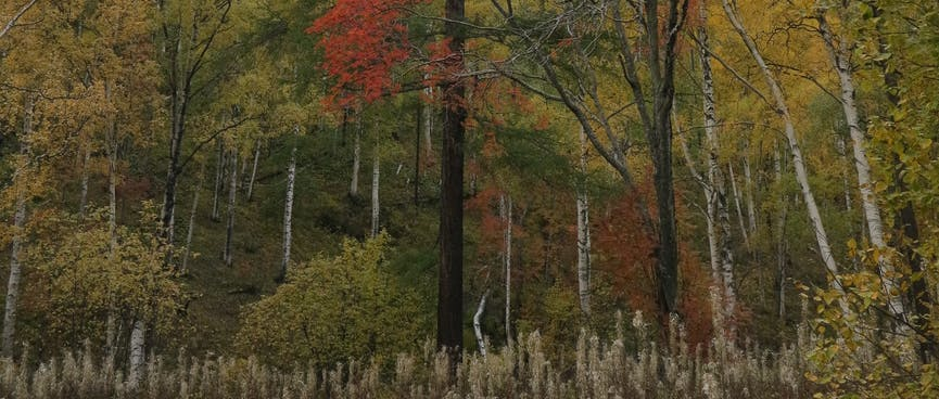 In a sea of green, a single tree has red leaves, and white shrubs carpet the ground below.