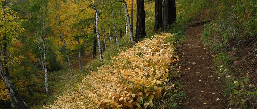 A shallow grove of yellow leaved plants.