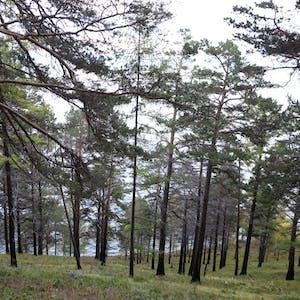 Dark brown tree trunks rise from green grass.