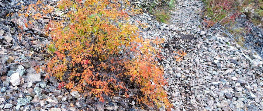 A small shrub with orange leaves.