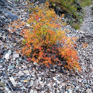 View enlargement of A small shrub with orange leaves.