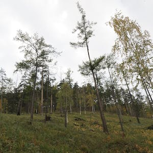 A grassy hillside is sparsely covered with trees.