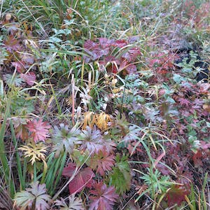 View enlargement of Red and green leafs, reminiscent of flat leaved parsley.