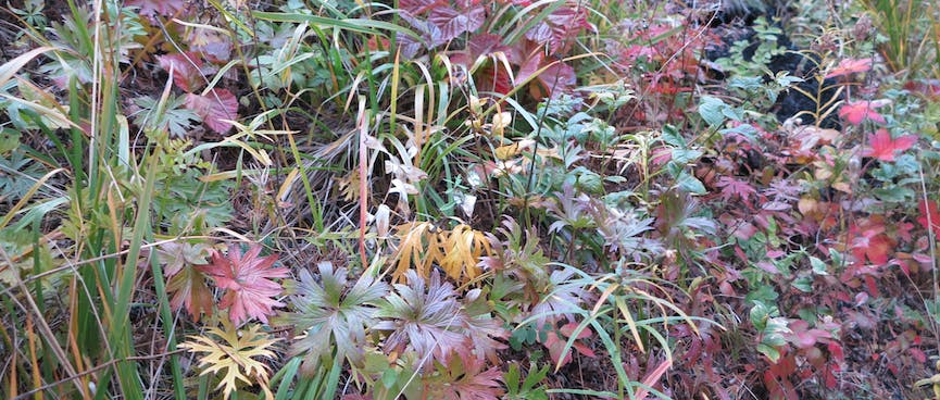 Red and green leafs, reminiscent of flat leaved parsley.