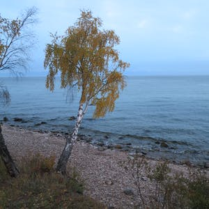 View enlargement of A tree leans out over a pebbled beach.