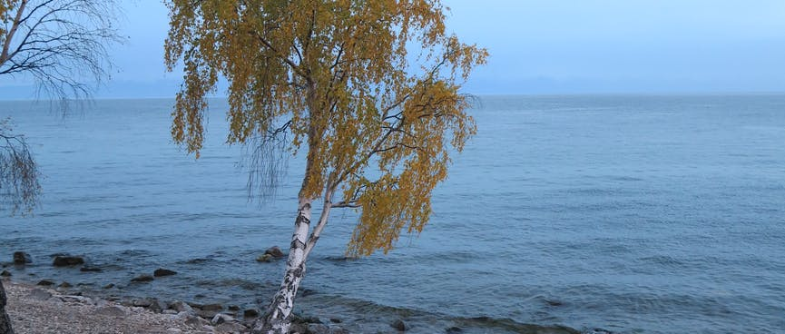 A tree leans out over a pebbled beach.