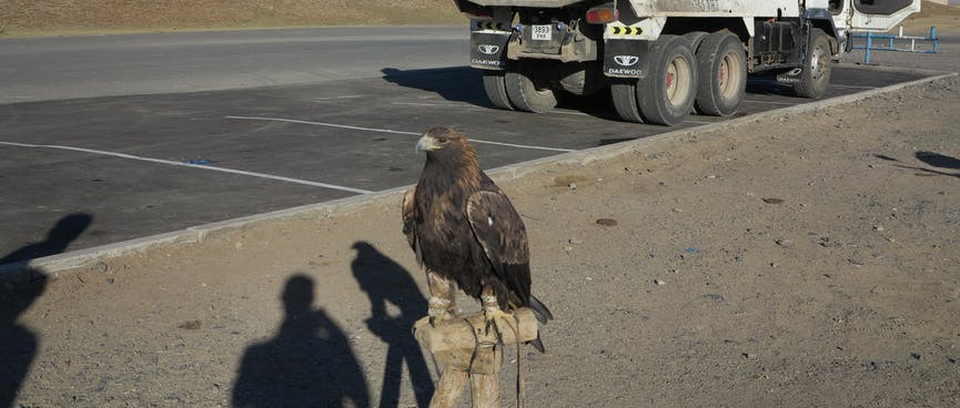 The eagle's feet are tied to a wooden post.