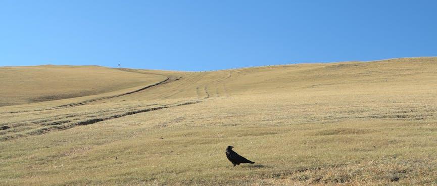 A black bird sits on a green hill.