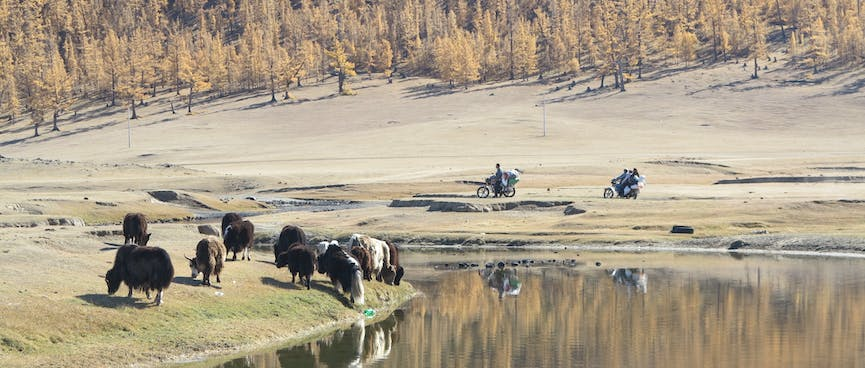 Cattle graze next to their reflections on the river bank.
