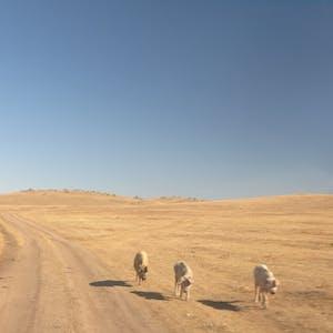 Wandering dogs.