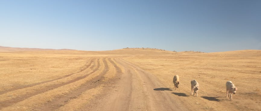Three white dogs walking on the side of a dirt road.
