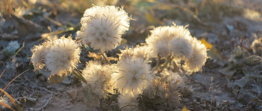 Fluffy white flowers sprout from the sandy beach.
