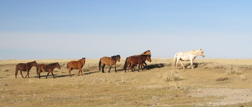 A white horse walks in front of a line of six brown horses.