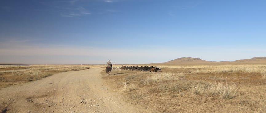 A man on a horse rounds up cattle.