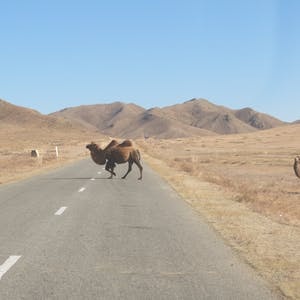 And camels cross. Camels!