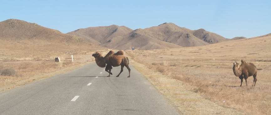 A humped camel crosses the road while another waits to cross.