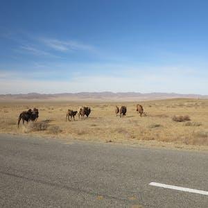 Bye, camels..