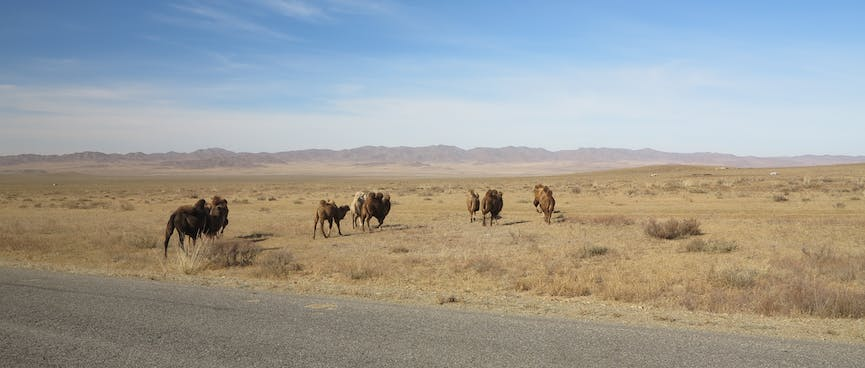 A small caravan of camels walk away from the road.